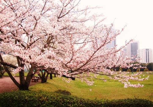 Прогноз цветения сакуры